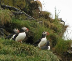 Iceland - Puffins200901
